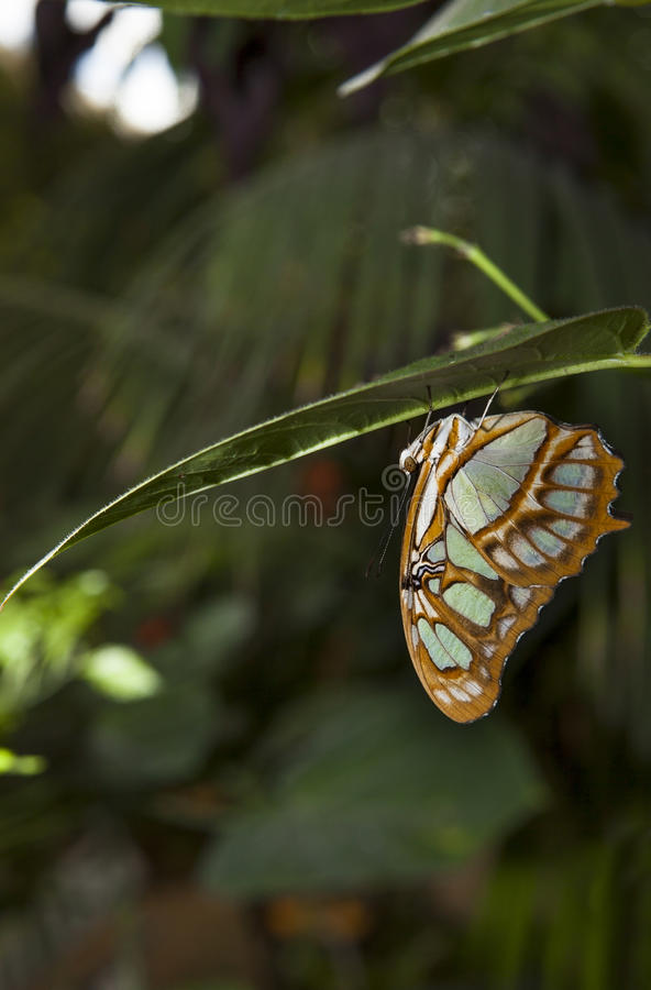 Malachite Butterfly. Or siproeta stelenes perched on a blade royalty free stock photo