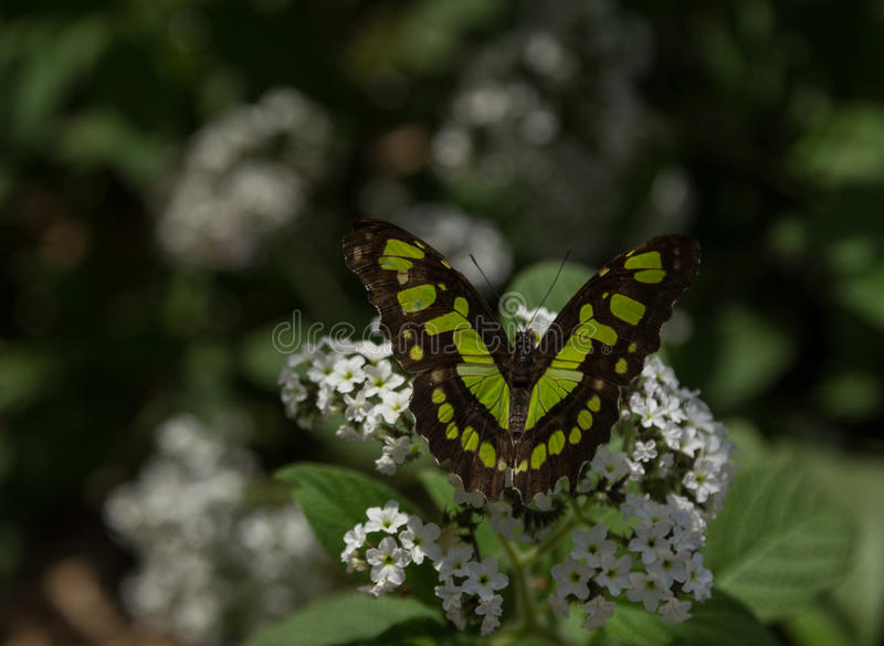 Malachite butterfly. Siproeta stelenes, in spring royalty free stock photos