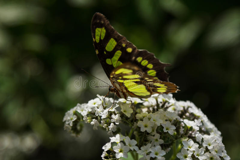 Malachite butterfly. Siproeta stelenes, in spring stock photos