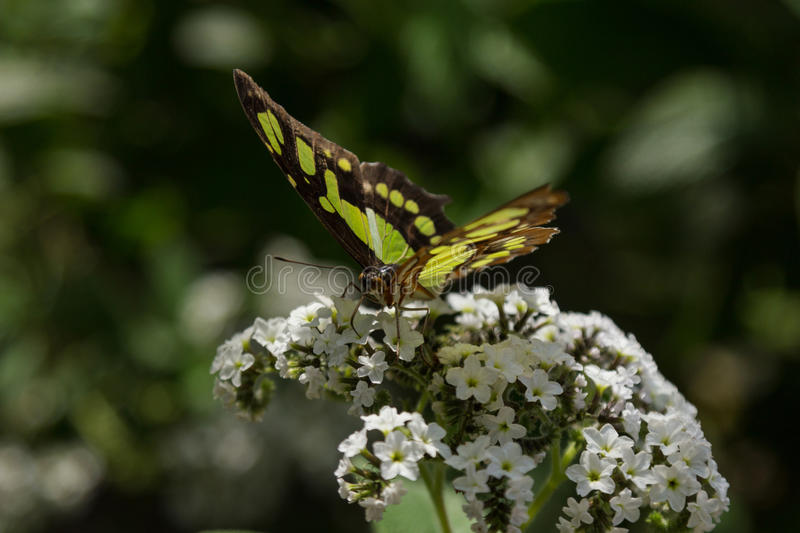 Malachite butterfly. Siproeta stelenes, in spring stock images