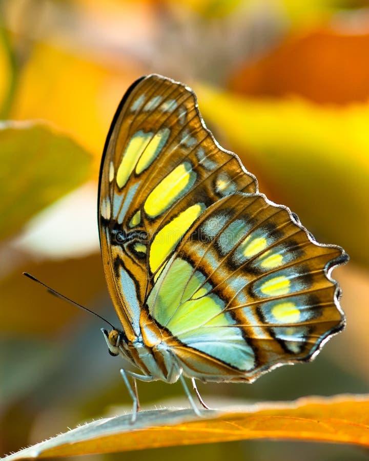 Malachite butterlfy photo libre de droits