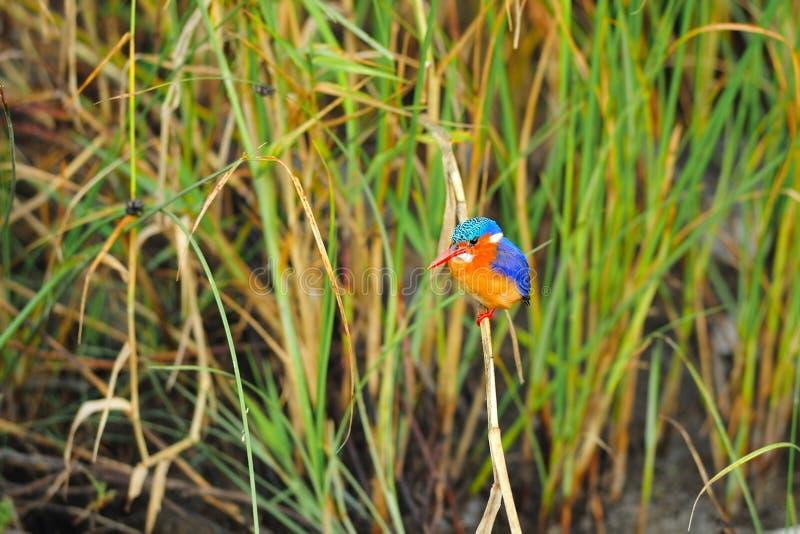 malachite för alcedocristatakingfisher fotografering för bildbyråer