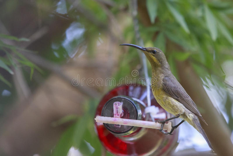 Malachite femminile Sunbird immagine stock libera da diritti