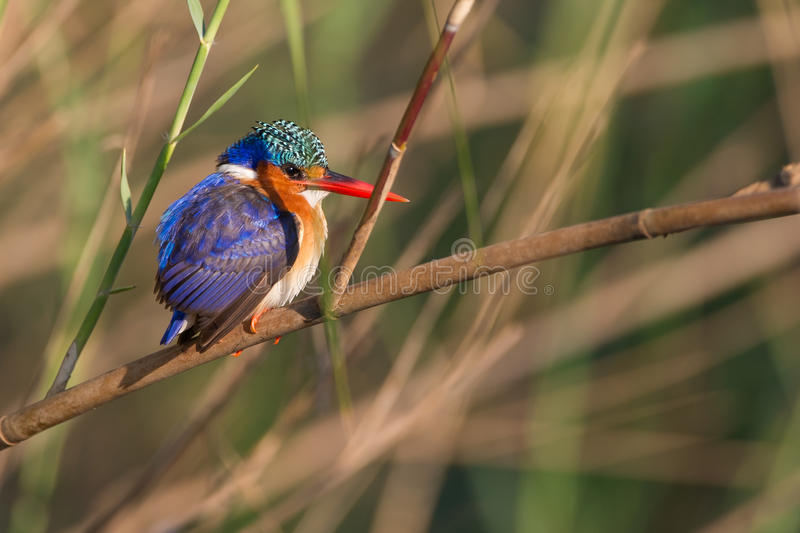 Malachite King fisher South Africa stock image