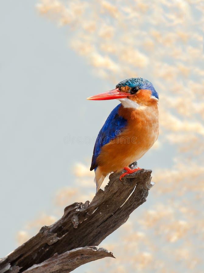 Free Malachite Kingfisher Royalty Free Stock Image - 19551216