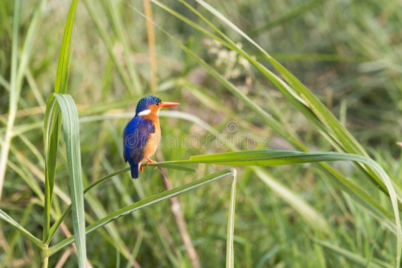 Malachite Kingfisher Stock Images
