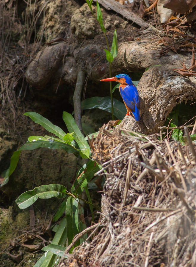 Malachite kingfisher. An african Malachite Kingfisher Corythornis cristatus in the wilderness of Kenya, Africa stock images
