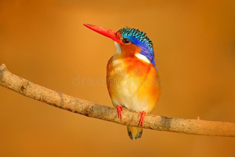 Malachite Kingfisher, Alcedo cristata, detail of exotic African bird sitting on the branch in green nature habitat, Botswana, Afri. Ca. Kingfisher with beautiful royalty free stock images