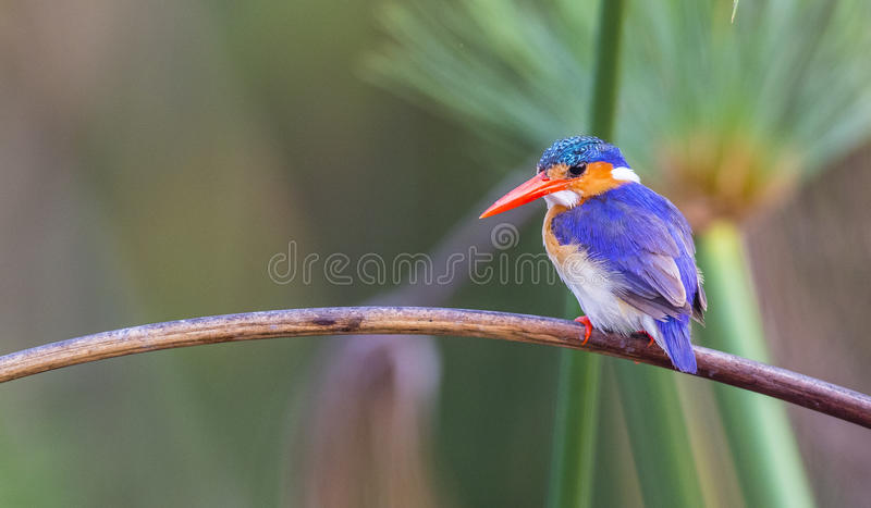 Malachite kingfisher. Beautiful kingfisher (Corythornis cristatus) keeping an eye out for fish royalty free stock photos