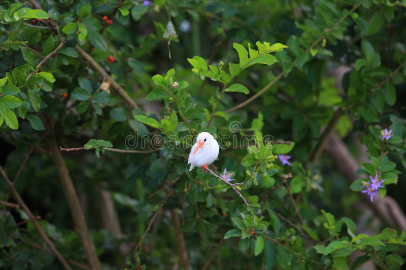 Malachite Kingfisher. Corythornis cristatus albino in Uganda royalty free stock photos