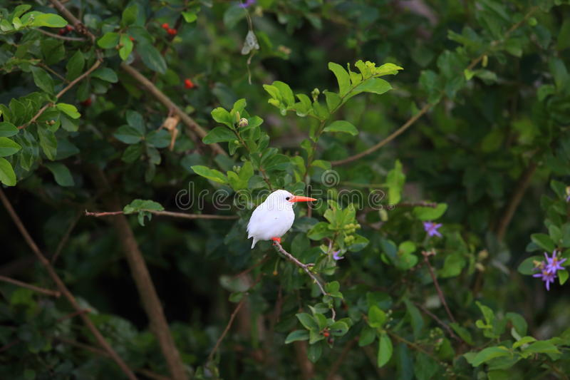 Malachite Kingfisher. Corythornis cristatus albino in Uganda royalty free stock photo