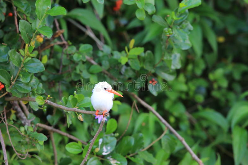 Malachite Kingfisher. Corythornis cristatus albino in Uganda stock images