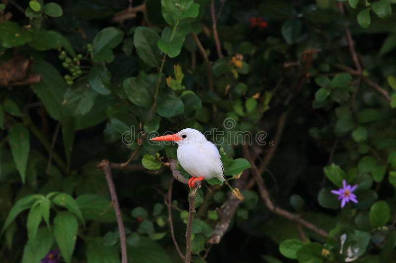 Malachite Kingfisher. Corythornis cristatus albino in Uganda stock image