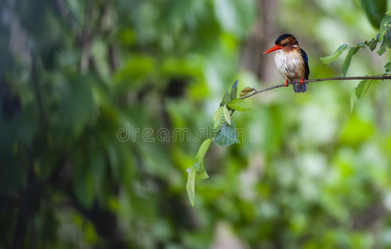 Malachite kingfisher or Corythornis cristatus. Sitting on branch, facing camera with blurred green background. Masai Mara, Kenya, Africa royalty free stock images