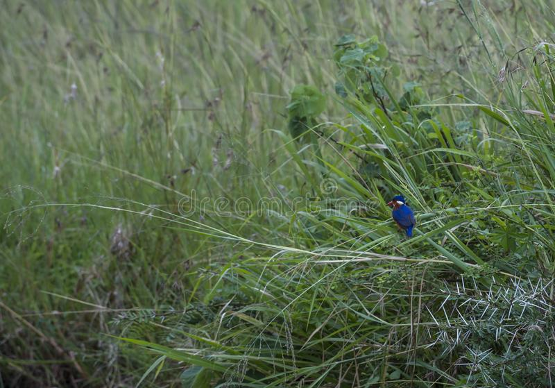 Malachite kingfisher or Corythornis cristatus,. Sitting on green reed with blurred green background. Masai Mara, Kenya, Africa stock photos