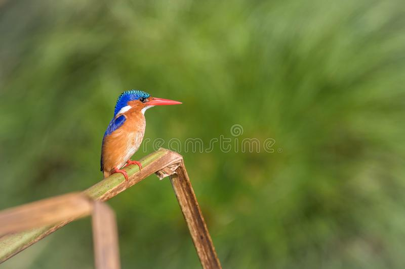The Malachite Kingfisher, Corythornis cristatus is sitting and posing on the reed, amazing picturesque green background, in the. Morning during sunrise, waiting stock images