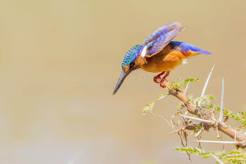 Malachite Kingfisher Diving royalty free stock photography