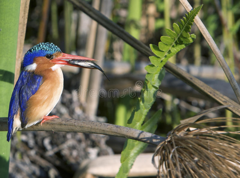 Malachite Kingfisher with Fish stock photos