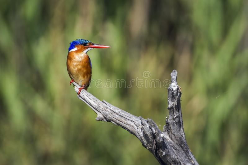 Malachite kingfisher in Kruger National park, South Africa. Specie Corythornis cristatus family of Alcedinidae royalty free stock photos