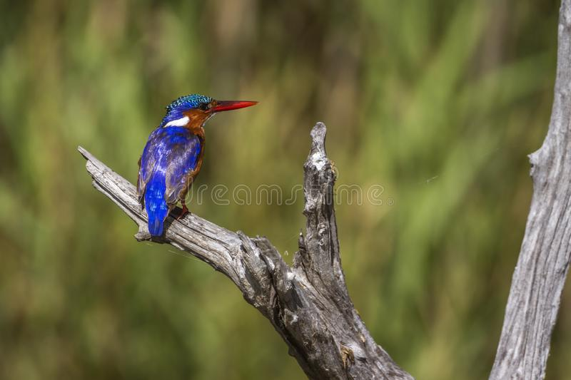 Malachite kingfisher in Kruger National park, South Africa. Specie Corythornis cristatus family of Alcedinidae stock photography