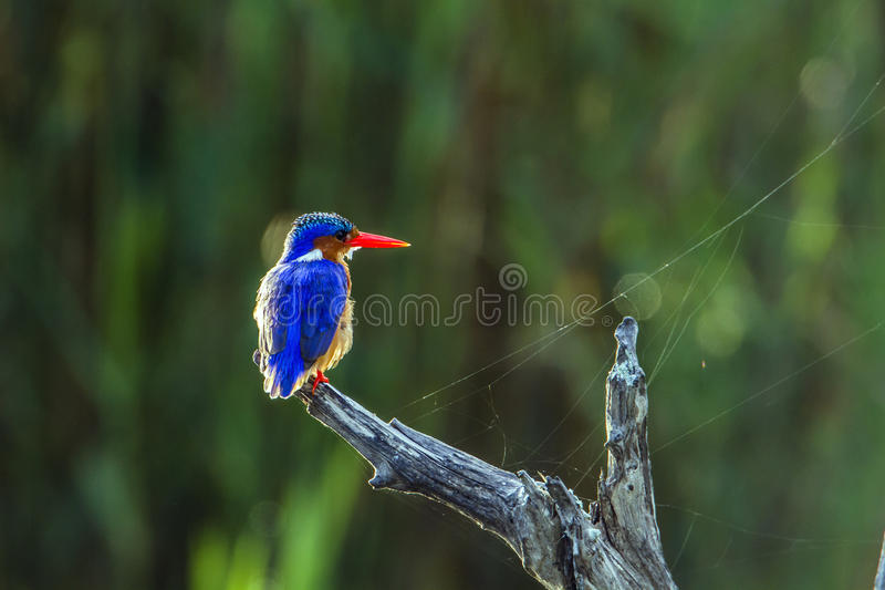 Malachite kingfisher in Kruger National park, South Africa. Specie Corythornis cristatus family of Alcedinidae, Malachite kingfisher in Kruger National park stock image