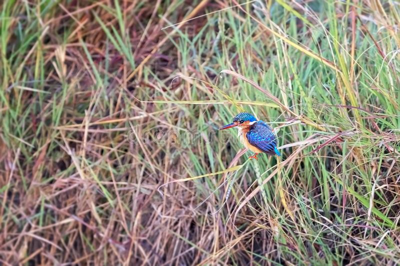 Malachite kingfisher in the Masai Mara. A malachite kingfisher on a riverbank in the Masai Mara, Kenya royalty free stock photo