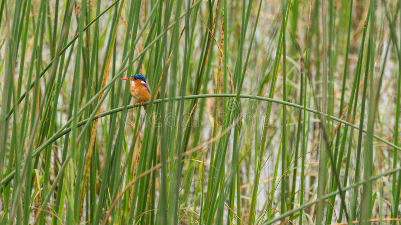 Malachite Kingfisher. Sitting on a grass straw in Hawassa Lake stock photography