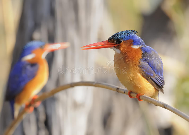 Download Malachite Kingfishers stock photo. Image of branch, feather - 15736100