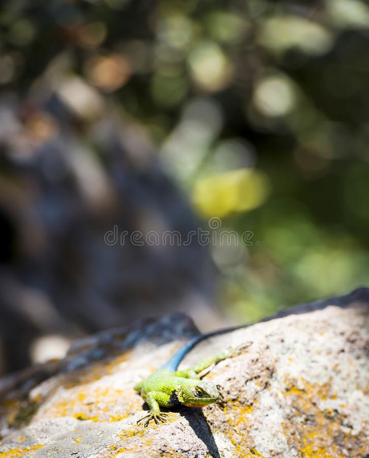 Malachite Spiny Lizard. Sceloporus Malachiticus sitting on a rock in Central America stock image