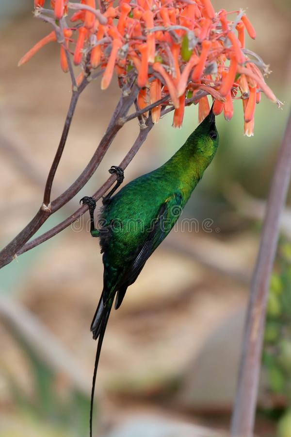 Download Malachite Sunbird stock photo. Image of african, feather - 11034674