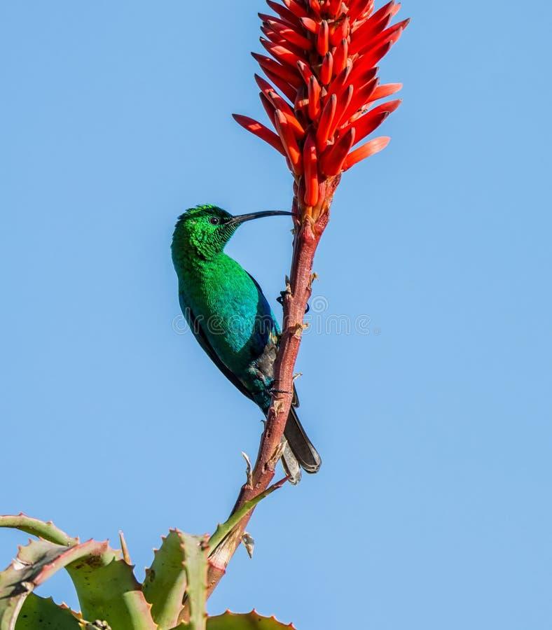 Malachite Sunbird arkivfoto