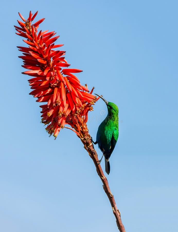 Malachite Sunbird image libre de droits