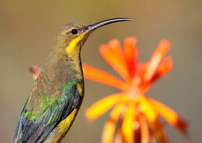 Malachite Sunbird. A female Malachite sunbird photographed in Somerset West, South Africa stock photography