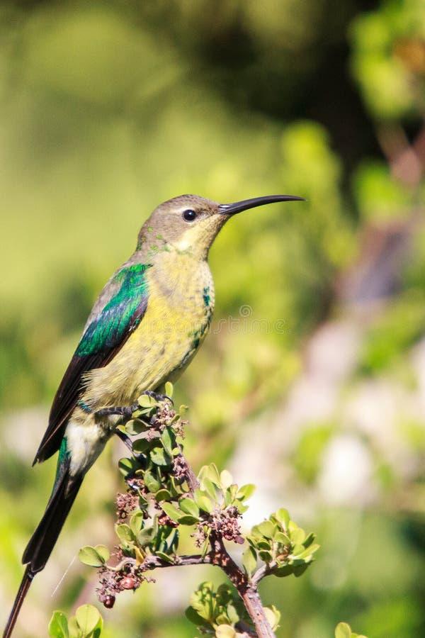 Malachite Sunbird photos libres de droits