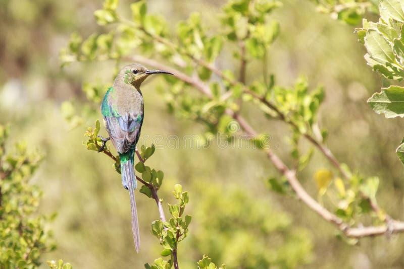 Malachite Sunbird photographie stock