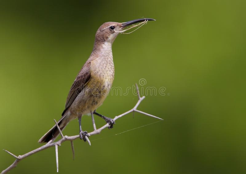 Malachite Sunbird photographie stock libre de droits