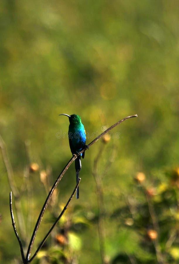Malachite Sunbird images libres de droits