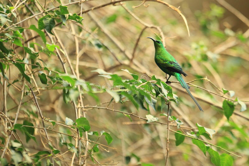 Malachite Sunbird royaltyfri foto