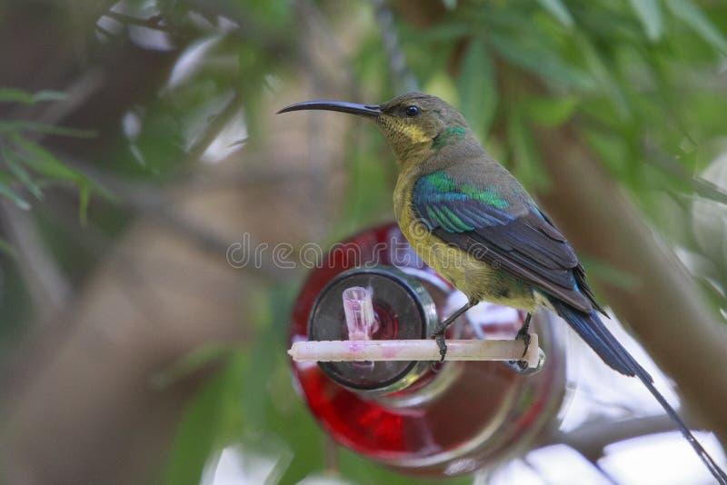 Malachite Sunbird royaltyfria bilder