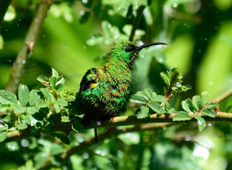 Malachite Sunbird fotografia stock libera da diritti