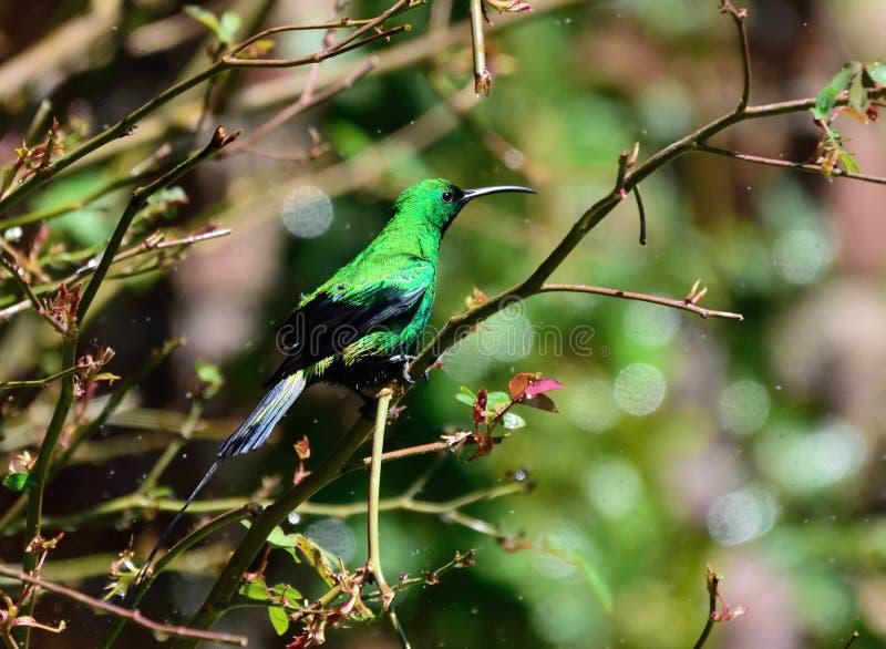 Malachite Sunbird fotografie stock libere da diritti