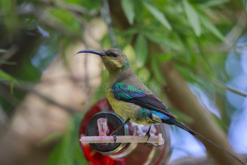 Malachite sunbird. Drinking at a home made bottle feeder. The  (Nectarinia famosa) is a small nectivorous bird stock photos