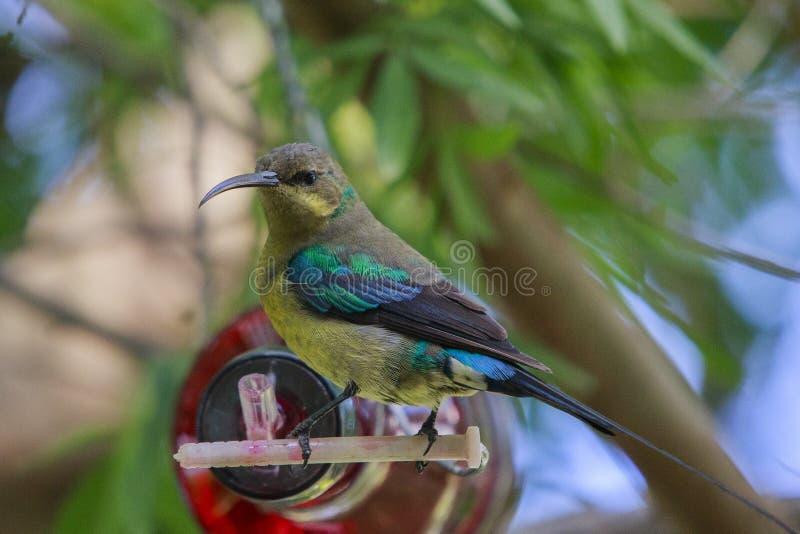 Malachite sunbird. Drinking at a home made bottle feeder. The  (Nectarinia famosa) is a small nectivorous bird stock photography