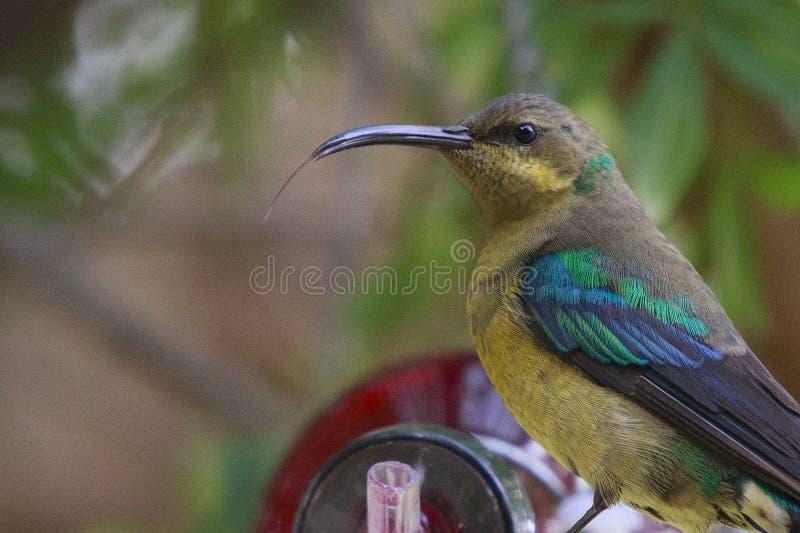 Malachite sunbird. Drinking at a home made bottle feeder. The  (Nectarinia famosa) is a small nectivorous bird royalty free stock photo