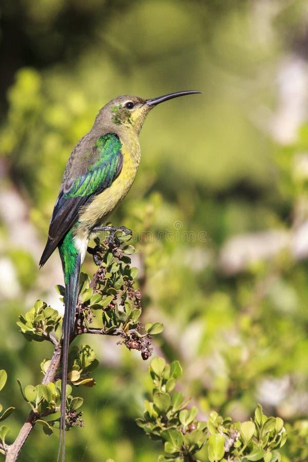 Malachite sunbird. The  Nectarinia famosa is a small nectivorous bird stock photo