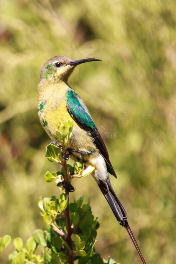 Malachite sunbird. The  Nectarinia famosa is a small nectivorous bird royalty free stock photos