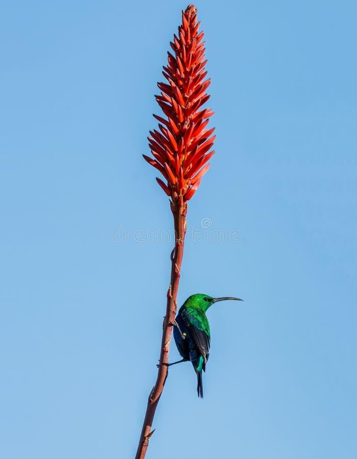 Malachite Sunbird. A male Malachite Sunbird in full breeding plumage in Southern Africa royalty free stock photo
