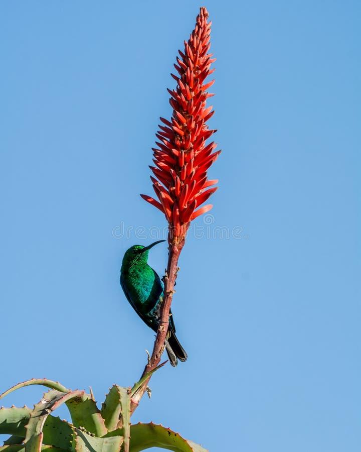 Malachite Sunbird. A male Malachite Sunbird in full breeding plumage in Southern Africa royalty free stock image