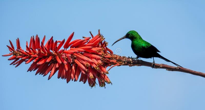 Malachite Sunbird. A male Malachite Sunbird in full breeding plumage in Southern Africa royalty free stock photos