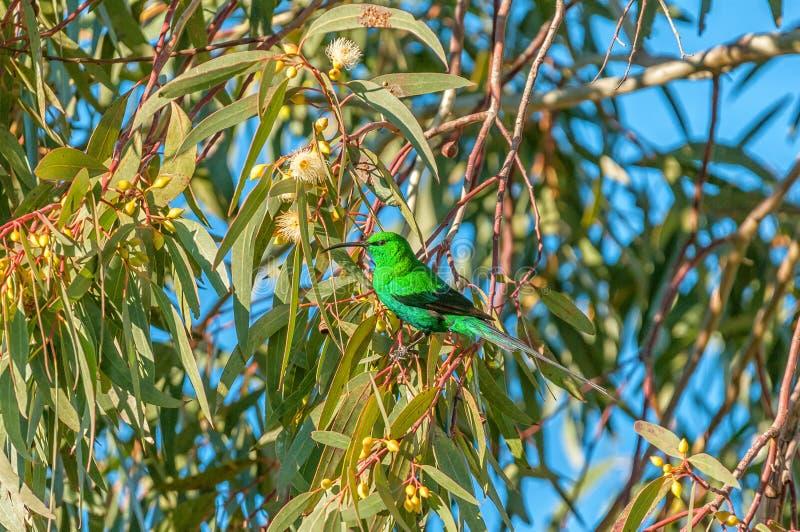 Malachite sunbird at Matjiesfontein near Nieuwoudtville. A Malachite sunbird, Nectarinia famosa, in a bluegum tree at Matjiesfontein near Nieuwoudtville in the royalty free stock images